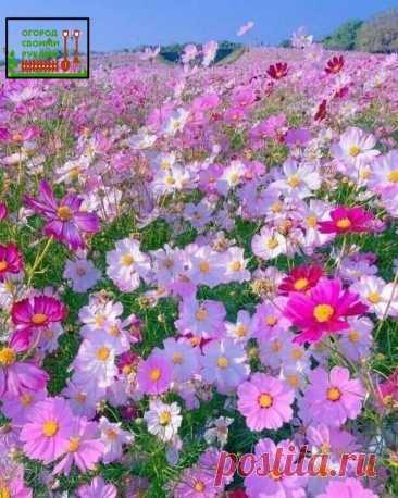 КОСМЕЯ — растение легкого ухода #цветы #сад   КОСМЕЯ поистине удивительное растение, оно может расти в засуху, отличается хорошей холодоустойчивостью и может переносить даже легкие заморозки. Она будет расти и в тени, и на солнце. Только на солнце подарит своему хозяину множество сильных и ярких цветков, а в тени пушистой зеленой массы будет намного больше цветков. Также больше цветов будет при частой посадке, а зеленой массы — при редкой.  Не требовательна к почве и полив...