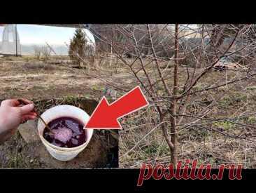 Вишни и сливы будет пропасть в этом году если подкормить в марте  апреле этим!