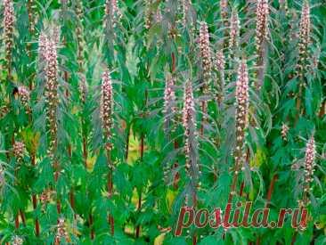 Лекарственное растение Пустырник сердечный (Leonurus cardiaca). Многолетнее растение высотой 50-150 см с грубыми ветвистыми стеблями. Прикорневые листья дланевидные, 3-7-, чаще 5-надрезные, крупнозубчатые, по направлению кверху постепенно мельчают; верхние стеблевые листья 3-лопастные. Многочисленные бледно-розовые цветки с двугубым венчиком образуют облиственное соцветие, сложенное из множества ложных мутовок. Венчик длиннее чашечки.