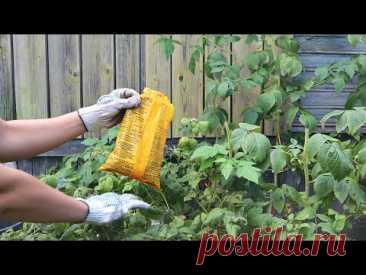 10 секретов по малине осенью после которых заваливает урожаем !Уход подкормка обрезка малины осенью.