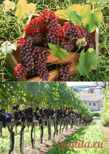 Виноград: как и когда правильно сажать? - Аллея