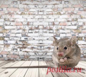 Как защититься от мышей в деревянных и каркасных домах