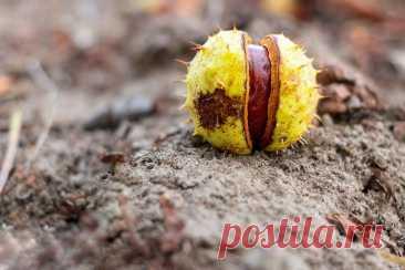 Каштан  - виды и применение Существует два абсолютно различных вида каштана – каштан конский (Aesculus hippocastanum), или желудник, и каштан благородный (Castanea sativa Mille), также называемый каштаном настоящим. Именно ег...