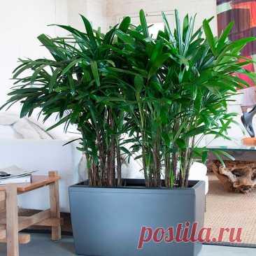 """Комнатное растение Рапис (латинское Rhapis). Рапис - достаточно неприхотливая пальма, хорошо переносящая и сухость воздуха, и недостаток света. Название рода происходит, вероятно, от греческого слова rhapis - """"розга"""". В продаже можно найти рапис низкий Rh.humilis. Эта компактная кустовидная пальма обычно не вытягивается выше 1,5 м. Ее жесткие темно-зеленые веерные листья рассечены на 7-10 сегментов. Покрытые волокнами черешки листьев короткие."""