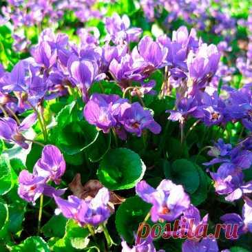 Лекарственное растение Фиалка душистая (Viola odorata). Многолетнее растение высотой 5-10 см, с надземными укореняющимися побегами. Все листья длинночерешковые, в прикорневых розетках, тонко опушенные, с нижней стороны часто блестящие; листовая пластинка сердцевидно-яйцевидная до округло-почковидной; края слабогородчатые. Прилистники яйцевидные, заостренные, обычно цельнокрайние. Цветки с темно-фиолетовым, реже розовым или белым венчиком.