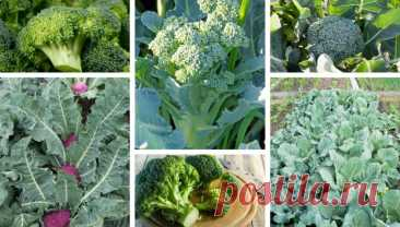 10 secrets for planting and growing broccoli in your garden | My desired home
