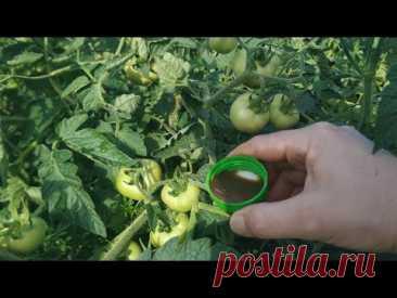 Эта обработка спасет Ваши томаты! Фитофтора на помидорах больше не страшна!