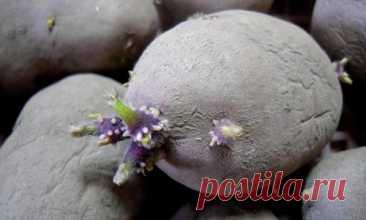 Como preparar correctamente las patatas a la plantación