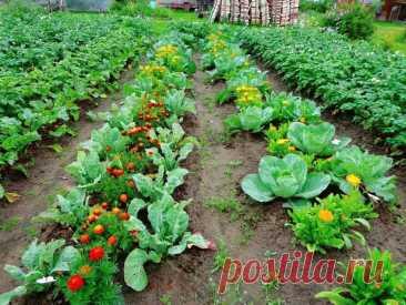 Помидоры ненавидят огурцы: растения-компаньоны на одной грядке + таблица совместимости овощей. Какие овощи и цветы стоит посадить рядом? - Сундучок желаний
