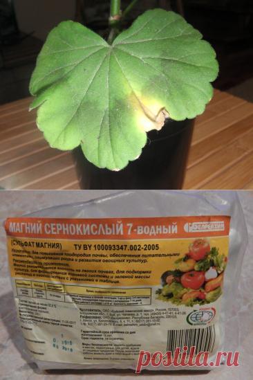 Убираю причину пожелтения листьев у пеларгонии — результат виден через 3 дня   Маленький сад на краю Вселенной    Яндекс Дзен