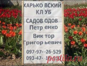 Выгонка тюльпана к 8-му марта