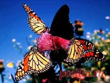 Миграция бабочки Монарха