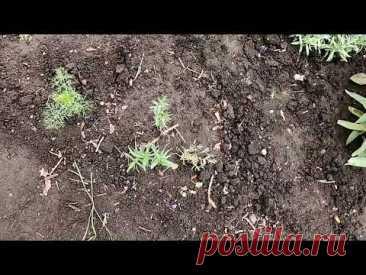 У моей гипсофилы из семян появились первые цветочки