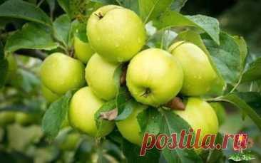 Ocыпaютcя яблoки - пoдкopмитe дepeвo