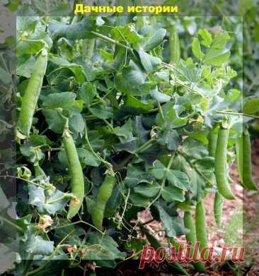 Конвейерный метод выращивания гороха: самый простой способ лакомиться горохом все лето | Дачные истории | Яндекс Дзен