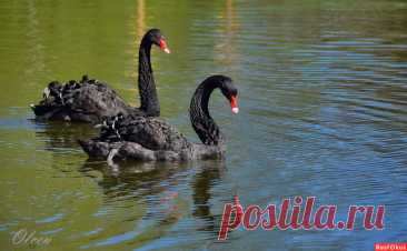 Фото: Черные лебеди. Olcen. Фото животных - Фотосайт Расфокус.ру