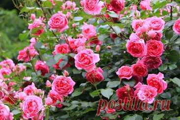 10 правил по-настоящему обильного цветения роз. Посадка, обрезка, поливы, подкормки. Фото — Ботаничка.ru