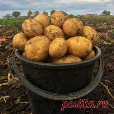 """Знакомый научил меня """"умной агротехнологии"""" - теперь сажаю картофель по особой схеме, и место экономлю и урожая больше   Добрый дачник   Яндекс Дзен"""