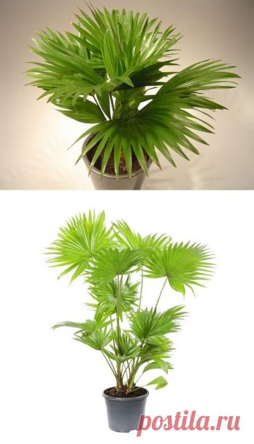 Пальма ливистона в домашних условиях. Уход, выращивание, размножение. Фото — Ботаничка.ru