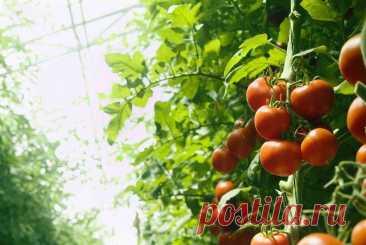 Выращиваем помидоры самых ранних сортов Летом не всегда бывает идеальная погода для вызревания томатов, поэтому прекрасным выходом... Читай дальше на сайте. Жми подробнее ➡
