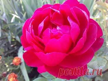 Розы, которые я буду восстанавливать, если они вымерзнут после этой зимы | Грабельки мои! | Яндекс Дзен