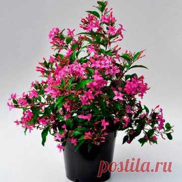 """Комнатное растение Псевдэрантемум (Pseuderanthemum). Само название рода, образованное с помощью латинского слова pseudo - """"ложный"""", намекает на сходство этих растений с эрантемумами. Псевдэрантемумы выращивают, как правило, ради их красивых декоративных листьев. Цветение в комнатных условиях происходит редко. Основа успеха при культивировании этих растений - повышенная влажность воздуха, которую в обычной комнате обеспечить трудно."""