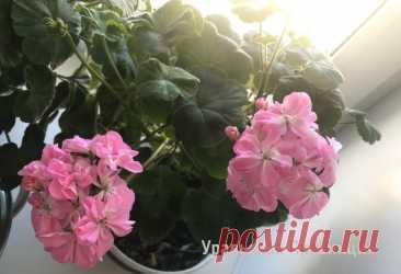 Я не понимала, почему герань не цветёт, а растёт буйно, пока не узнала 3 базовых принципа. Делюсь ими Я не понимала, почему герань не цветёт, а растёт буйно, пока не узнала 3 базовых принципа. Делюсь ими Собери букет цветов. Узнай название цветов, красивые цветы для любой девушки. Какие растения цветы, а какие нет. Сделай цветник своими руками и проверь как посажены цветы.