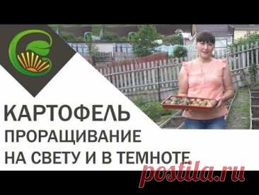 Картофель  Проращивание на свету и в темноте