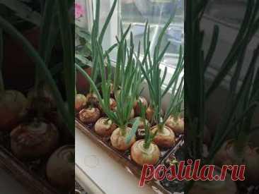 Огород на подоконнике. Садим зелень на окне