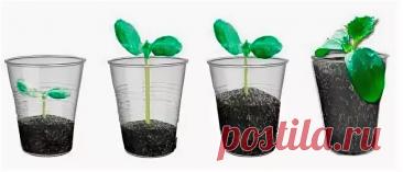 Необычный способ выращивания рассады огурцов: Растение не страдает от пересадки и защищено от вредителей