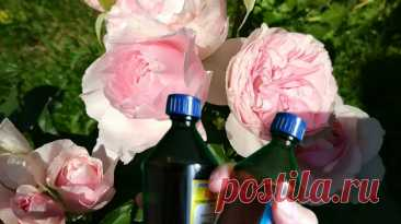 Аптечный спасатель роз от болезней, чтобы пятнистость больше не донимала. Простое проверенное решение. | Дом цветов | Яндекс Дзен
