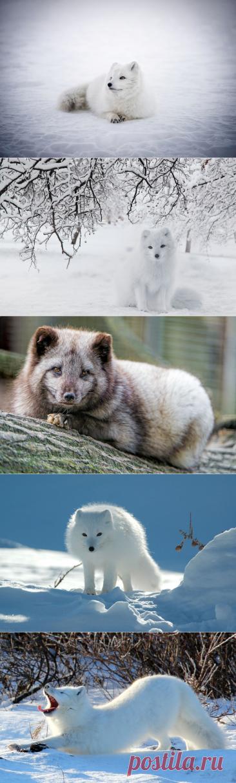 Арктическая лиса: интересные факты