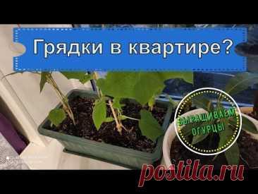 #Мотивация. Грядка на подоконнике. Выращиваем #огурцы в #квартире. Семена огород на окне. #Гавриш