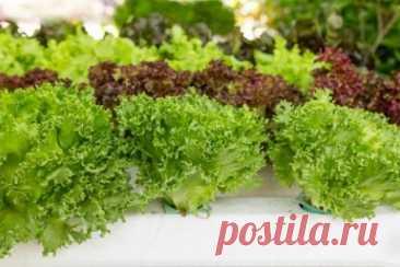 Огород на балконе: что можно вырастить за месяц. Часть 1   Другие растения (Огород.ru)