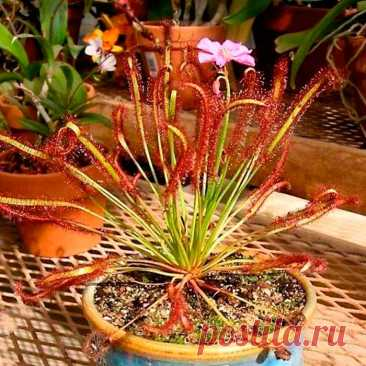 Комнатное растение Росянка (лат. Drosera). Росянки относятся к редким видам растений, которые способны ловить и переваривать насекомых. Название они получили благодаря липкой жидкости, похожей на капли росы. При правильном уходе из середины розетки листьев росянки поднимается длинный цветонос с красными цветками. В природе большинство росянок растут на болотах, поэтому секрет успеха их содержания в комнатах - кислая почва, обилие влаги и холодная зимовка.