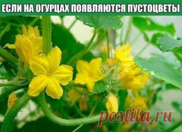 Что делать, если на огурцах появляются пустоцветы  Если на огурцах появляются пустоцветы, то можно попробовать от них избавиться, но делать это надо своевременно. Пустоцветы на огурцах могут вырасти по разным причинам и, поняв их, вы поймете что делать, чтобы пустоцветы больше не появлялись или, хотя бы, чтобы их стало меньше.  Разумно считать, что пустоцветы на огурцах образуются при неправильном выращивании: мало света, загущенность посадки, неправильный выбор самих семя...