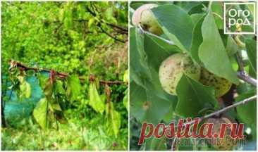 Болезни и вредители абрикоса: как распознать и бороться Абрикос быстро растет, легко восстанавливается после обрезки и повреждения веток, нетребователен к почвам, красиво цветет, источает медовый аромат и рано плодоносит. И все бы хорошо, если б не болезни...