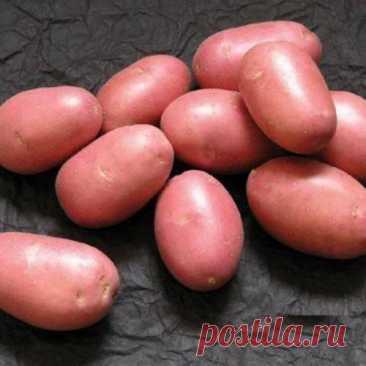 Картофельная нематода — живуча и чрезвычайно опасна