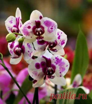 Размножение Орхидеи детками. Когда и как отделять деток орхидеи Орхидея фаленопсис– оригинальный цветок и размножается в домашних условиях тоже необычным способом, ни семенами, ни черенками, ни делением куста, а детками, которые образуются на цветоносах.Многие используют специальный гормональный препарат для пробуждения почек на цветоносах и появления...