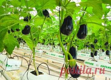 Баклажаны. Выращивание методом гидропоники