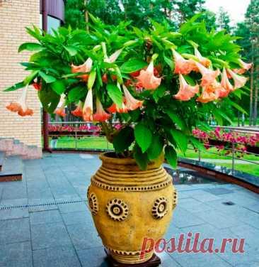 Бругмансия: уход в домашних условиях, пересадка и размножение Красивоцветущий кустарник бругмансия (Brugmansia)является представителем семейства Пасленовые. В природе это растение имеет высоту около 400–500 см. Однако в домашних условиях оно, как правило, не превышает 200 см.