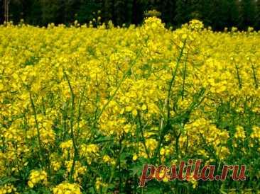 Растения для растений: сидераты, или зеленые удобрения