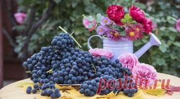 Обрезка винограда от НЕ профессионала дачника: личный опыт, или 10 лет с урожаем на Supersadovnik.ru