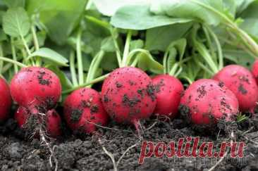 Cultivation of a garden radish: how to achieve a harvest