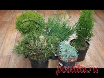 Пять устойчивых хвойных растений для вашего сада  Посадил и забыл