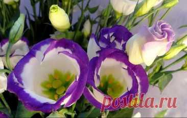 Как вырастить Эустому из семян в домашних условиях Как вырастить Эустому из семян в домашних условияхЭустома — великолепное цветущее растение, которое способно украсить не только любой букет, но и интерьер вашего жилища. Вы наверняка задумывались о то...
