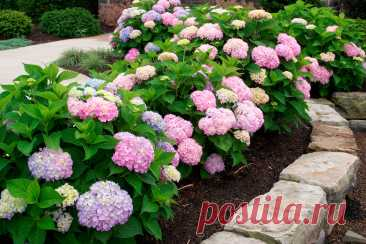 Многолетнее садовое растение Гортензия (Hydrangea). Вряд ли найдется в декоративном садоводстве еще одно растение, приковывающее к себе внимание так, как гортензия. Это неповторимые по разнообразию, выразительности и красоте листопадные кустарники. Свое название гортензия (Hydrangea) получила за форму семенных коробочек, напоминающих сосуд с водой (по-гречески hydro — вода, angeon — сосуд), и за любовь к влажным местам обитания. Впервые в Европу ее завезли из Японии в 1820 году.