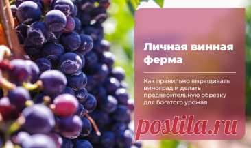 Личная винная ферма в саду: рассказываем, как правильно вырастить виноград и сделать предварительную обрезку для богатого урожая | Клуб Садоводов-Профессионалов | Яндекс Дзен