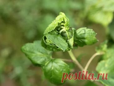 Что делать, если у смородины закручиваются листья или красные пятна на листьях. Старый эффективный способ борьбы с тлей | 6 соток