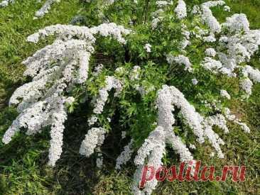 Кустарники: Топ-6 растений для ландшафтного дизайна   Есть время под солнцем   Яндекс Дзен